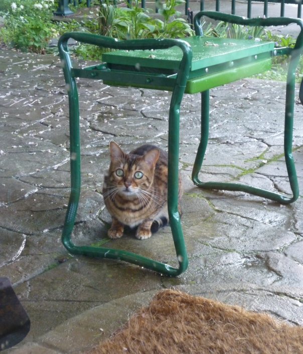 4-2014 bengal cat