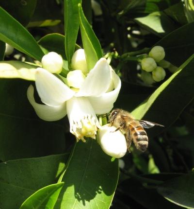bee on o. blossom crp