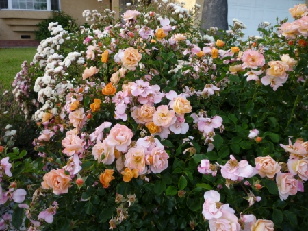 orange to pink bush