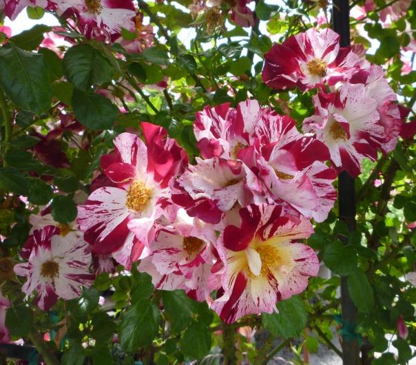 rose at nursery 5-1-14