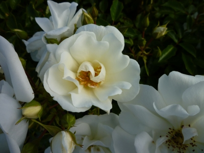 rose white El Av stamens 3
