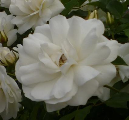 rose white floribunda em av 1crp