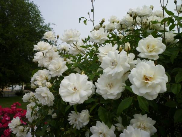 rose white floribunda em av 2