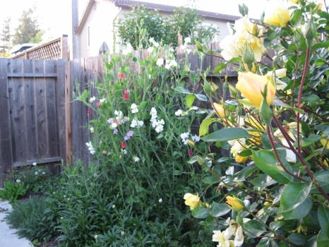 roses & sweet peas 07