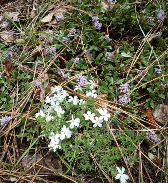 spreading phlox and squaw carpet
