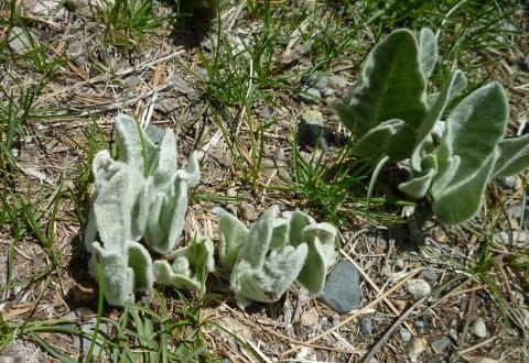 wooly mule's ears Tahoe 5-7-14