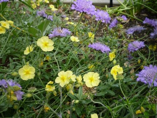 yellow helianthemum w pincushion