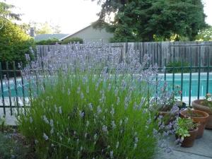lavender 6-14
