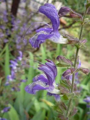 mystery salvia bloom