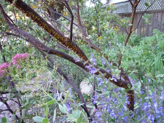 salvia manzanita valerian 6-14