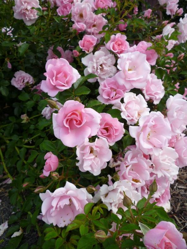 pink ruffle bush