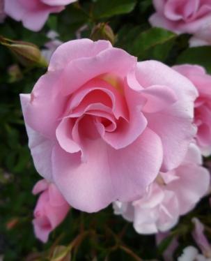 pink ruffle close