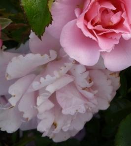 pink ruffle serration crp