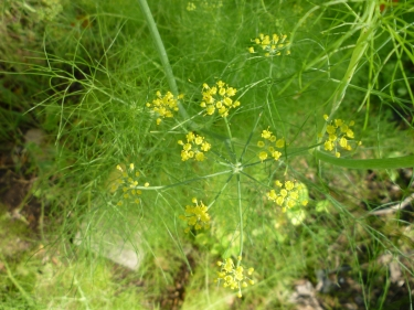 fennel flower 9-27-14