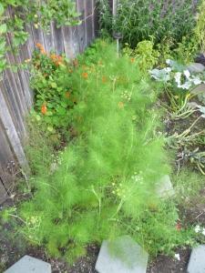 fennel fluff 9-27-14
