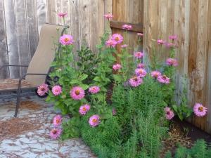 zinnias pink 1 bush 14
