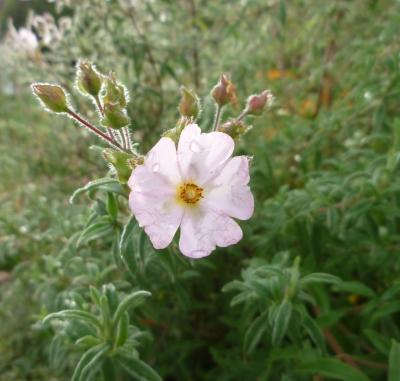 rockrose flower 12-4-14