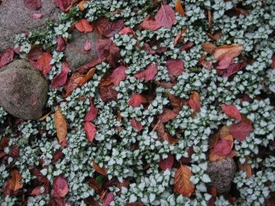 lamium & plum leaves Nov 08