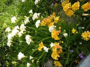 GLP1120480 freesias rain