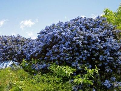 ceanothus blue so hem