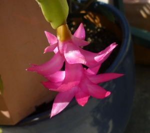 first Thanksgiving cactus bloom 3-15 Jerry
