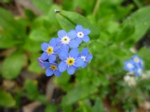 P1120593 forget-me-not 3-12-15