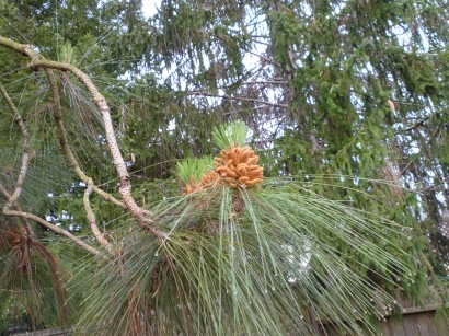 pine cone forming 3-15