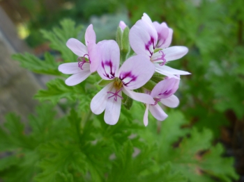 GL rose geranium 4-18-16