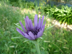 bike path salsify May 15