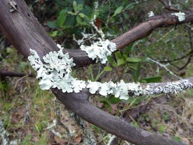 gl annadel lichen on branch 5-15
