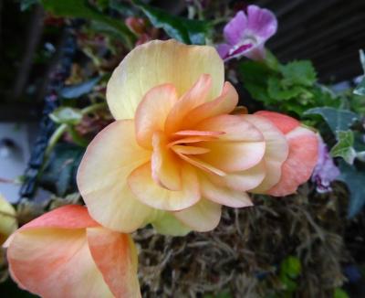 GL begonia apricot may 15