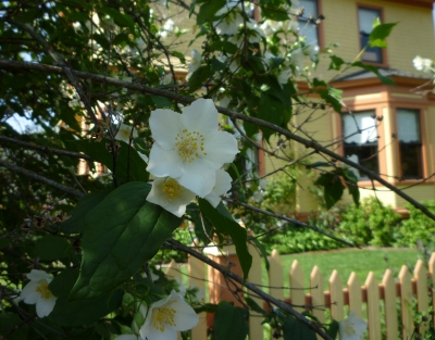 mock orange so OR