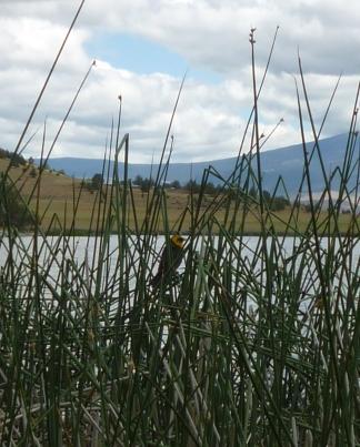 P1130675crp yellow-headed blackbird Trout Lake