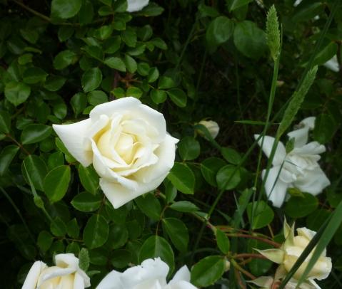 Sn Ln giant rose bush indiv 5-15