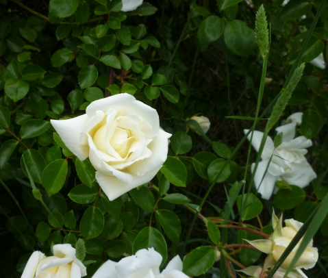 Sn Ln giant rose bush indiv 5-15