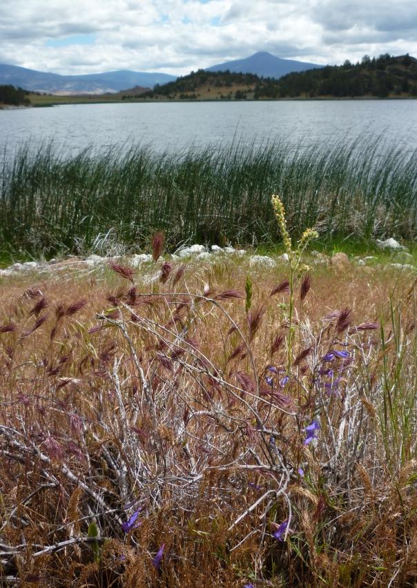 Trout Lake fiddleneck penstemon & red grass