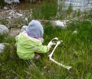 Trout Lake pelican bones 5-15