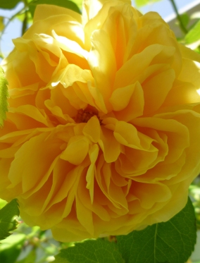 Yellow Rose close OR backyard