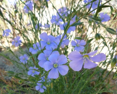 flax crp Smith Rock OR 6-10
