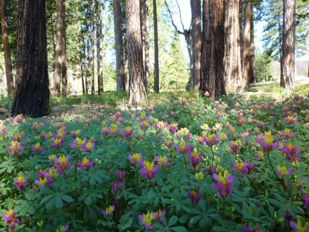 lupines varicolored Yos 6-10 89