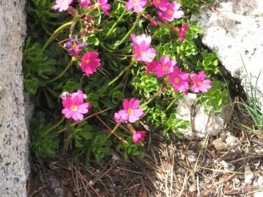 Sierra primrose - Yosemite summer 09