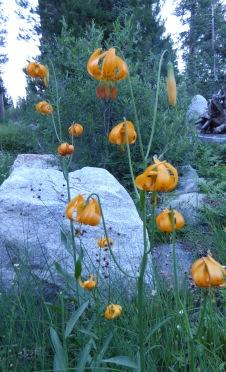 P1000799 leopard lily crp
