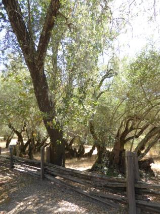 GL olive oak GE 9-15