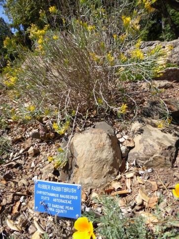 GL rabbitbrush Tilden 9-15