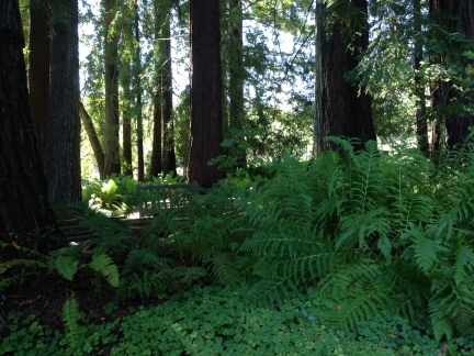 GL Tilden Bot. Gardens redwood grove 9-4-15