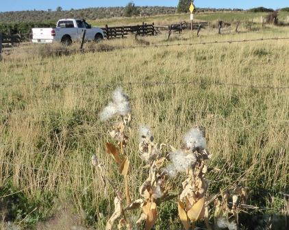 P1010897 milkweed