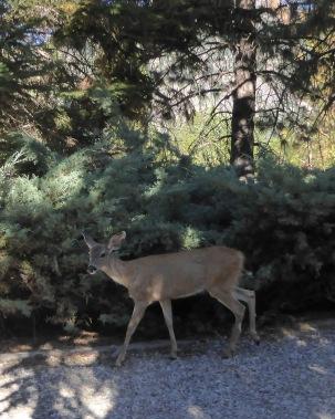 deer Oct 15