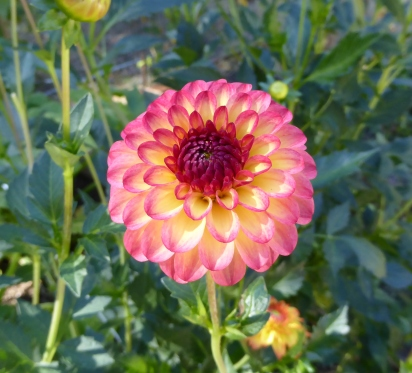 glP1010921 dahlia pink yellow