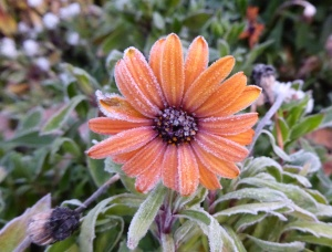gl P1030243 frosted daisy