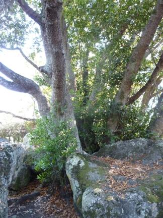 gl Mortar Rock bay tree